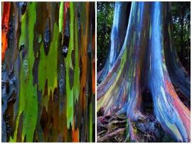 Duhové eukalypty na Havaji