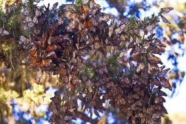 Migrace motýlů