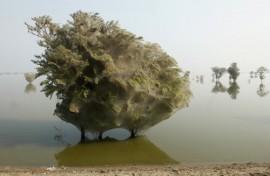 Stromy zabalené do pavučin v Pákistánu